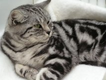 British shorthair, BSH, cat, girl, boy, Kent, silver, black, spotted, tabby, kitten, London, south east,