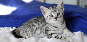 Sylvanus kitten